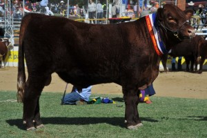 Grand Champion Bull Ashwood Knockout (3) (1024x681)